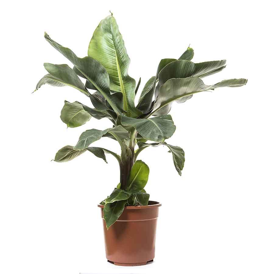 Bananier musa 90 cm - Hauteur 90 -100 cm