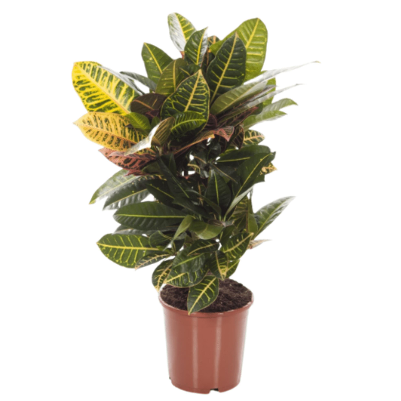 Croton 70 cm