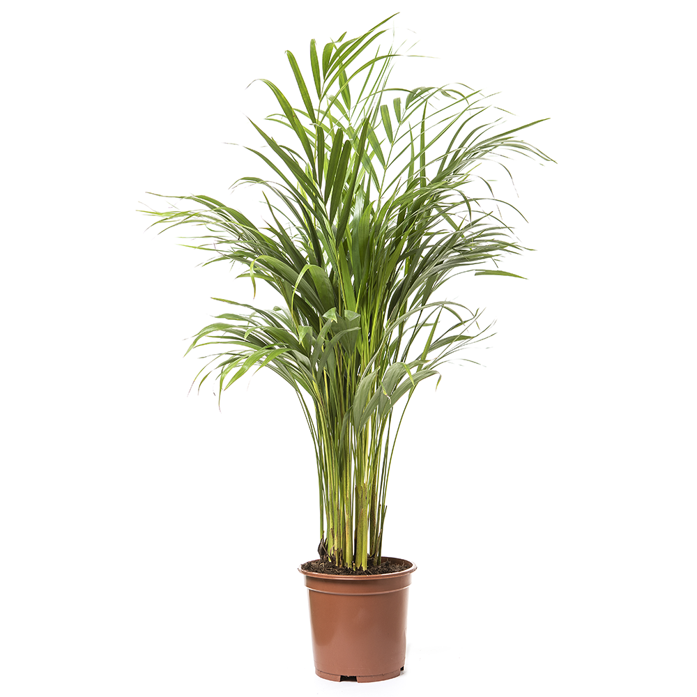 Dypsis lutescens 90 cm