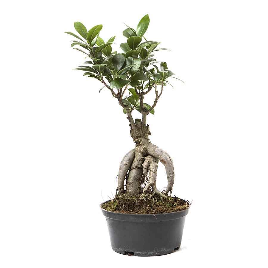 Ficus Bonsai 35cm