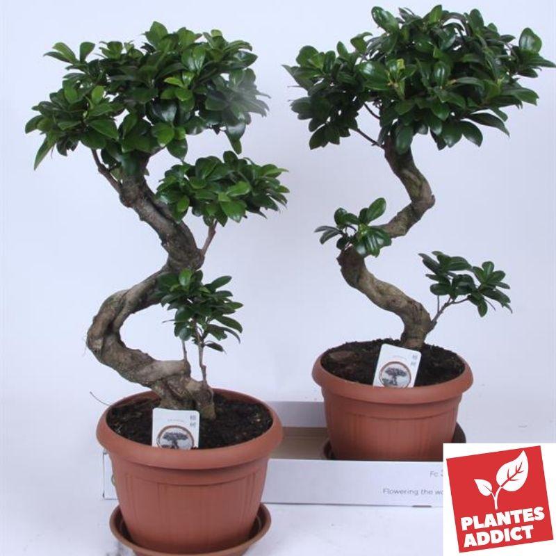 Ficus bonsai 85cm