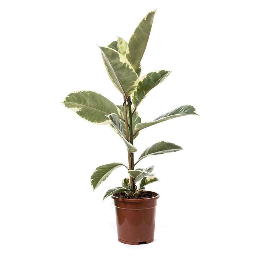 Ficus el tineke 85cm