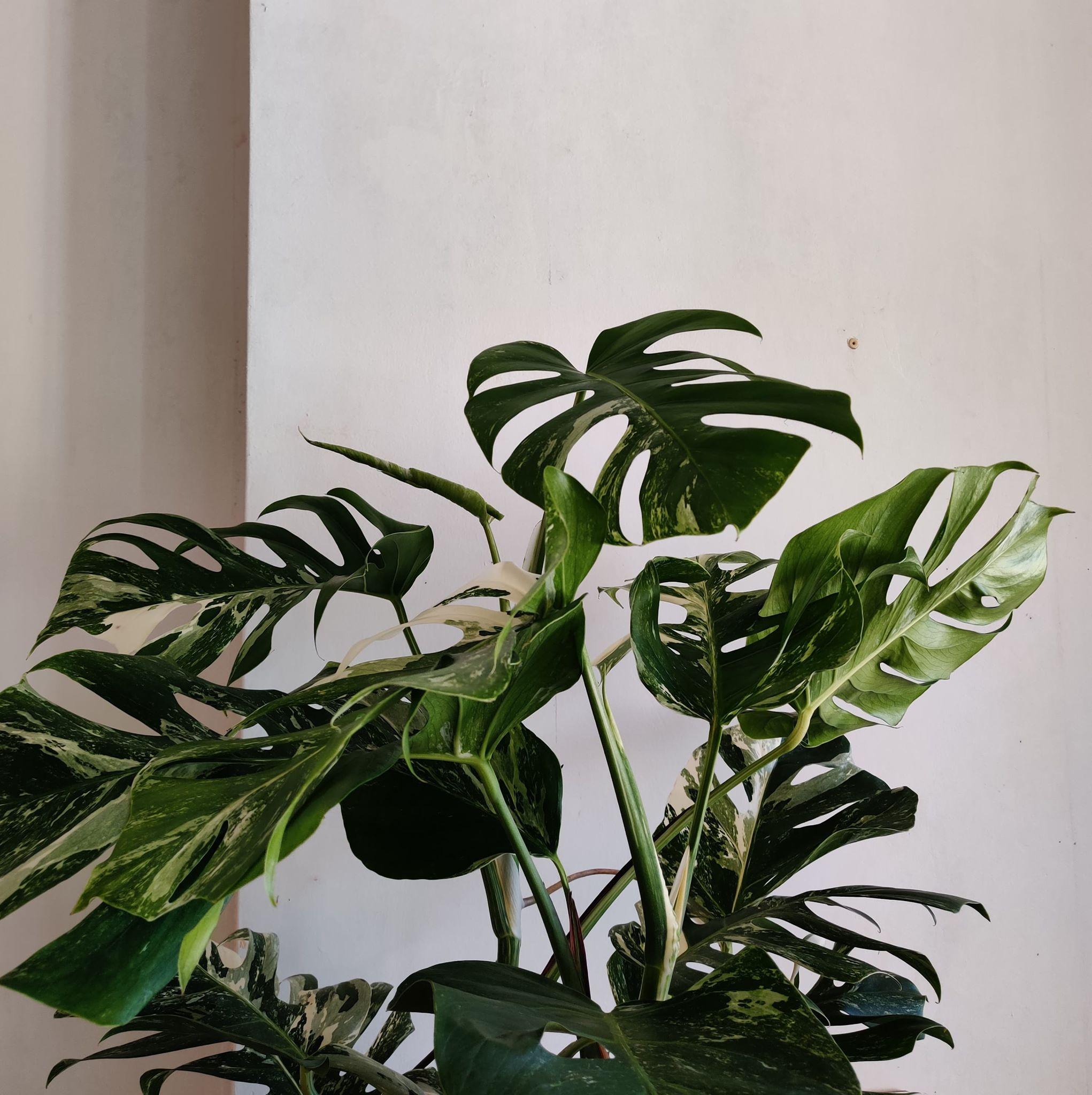 Monstera Variegata - Hauteur 100cm, Plante unique et très rare